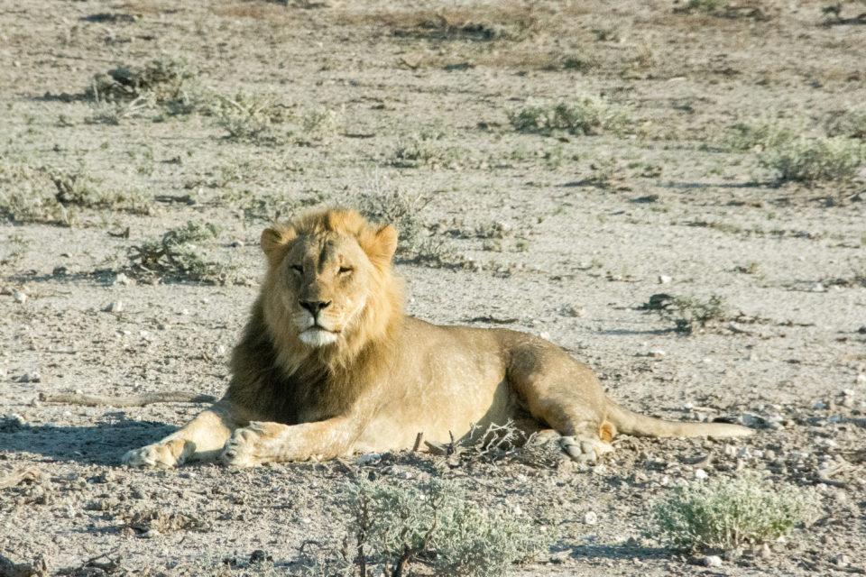 Afrika-Botswana-Etosha-Löwe