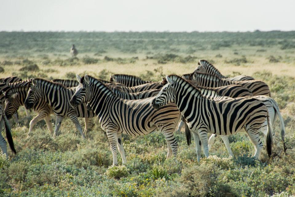 Afrika-Botswana-Etosha-Zebras