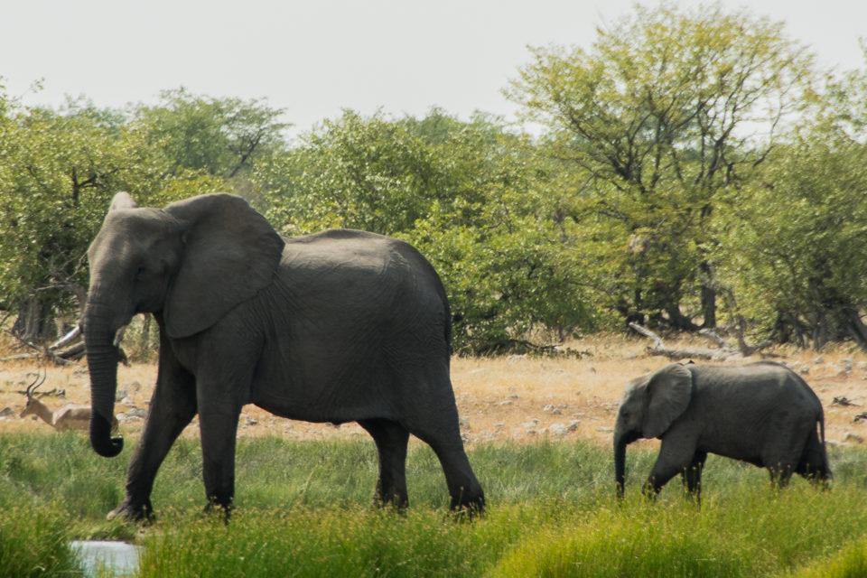 Afrika-Botswana-Etosha-Elefant