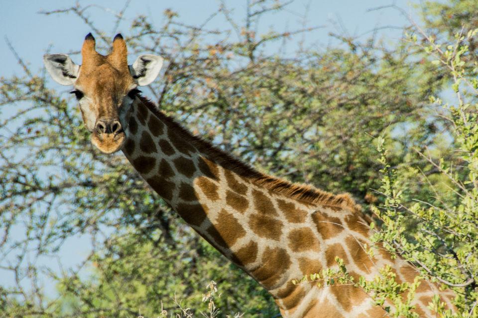 Afrika-Botswana-Etosha-Giraffe