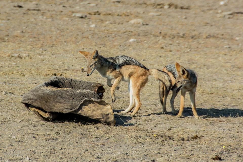 Afrika-Botswana-Etosha