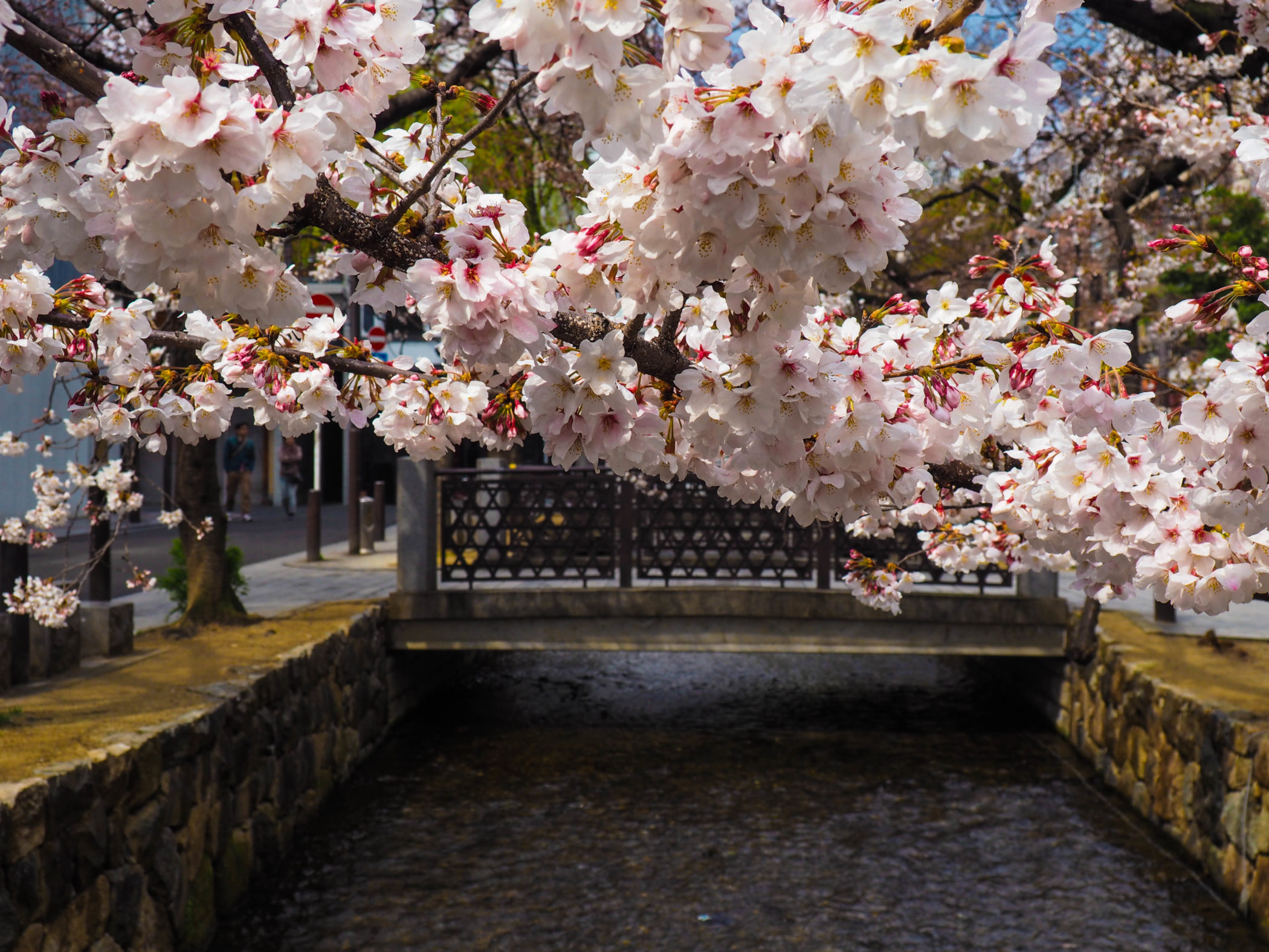 Japan-Kyoto-City-Kirschblüten