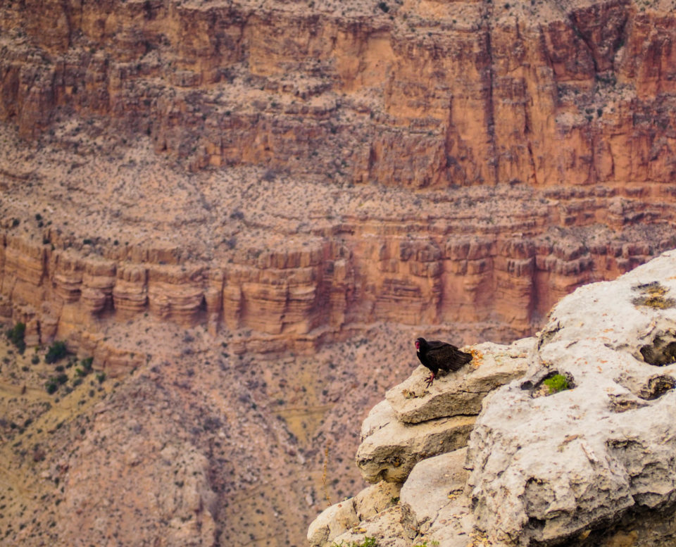 Grand-Canyon-USA-condor