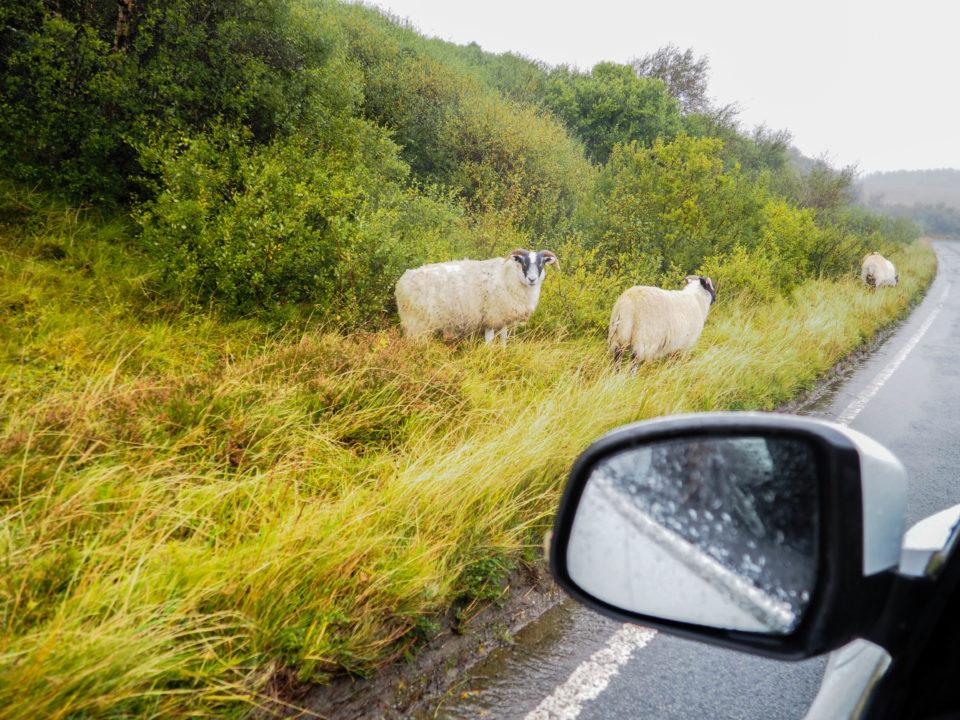 Schottland-Schafe