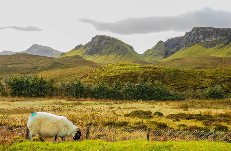 Schottland-Schaf