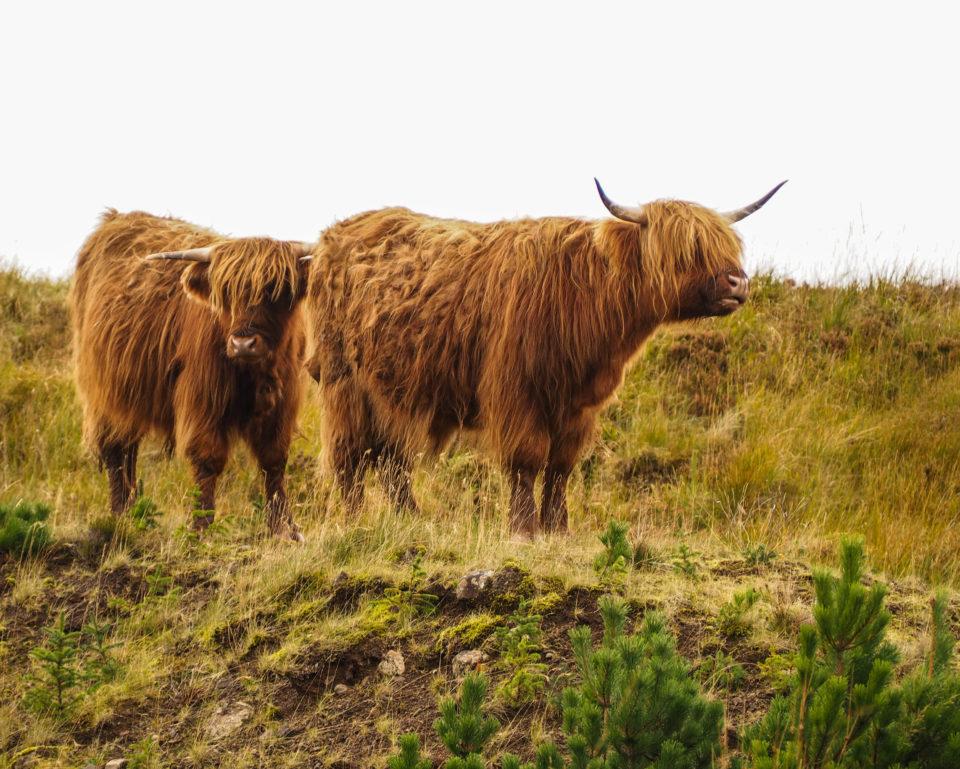 Highlandkühe in Schottland