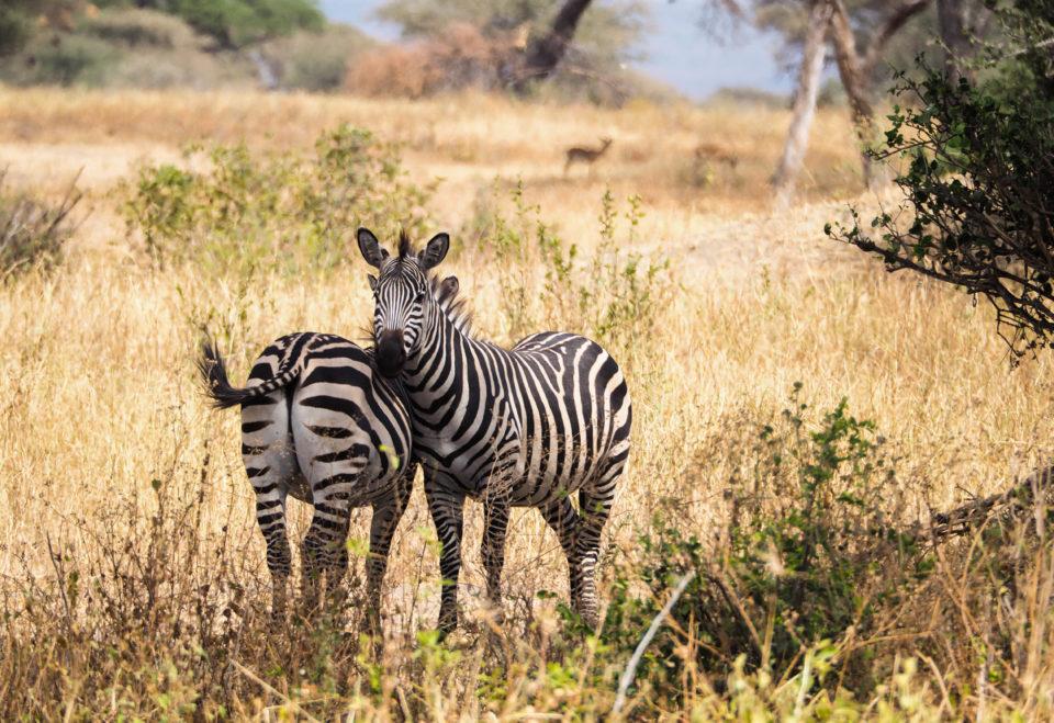 Tarangire-Nationalpark-zebras