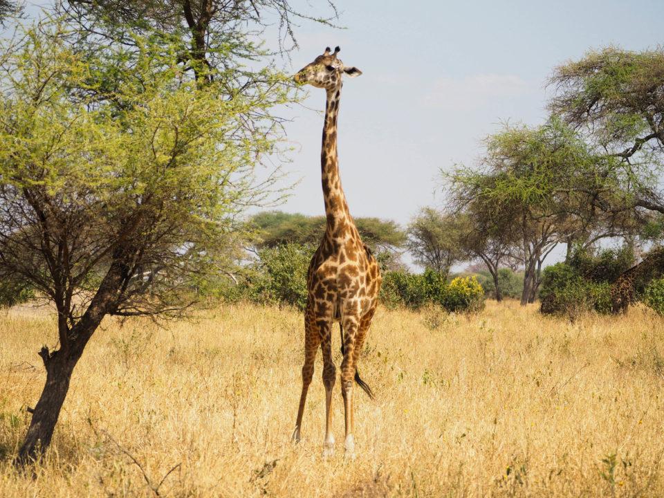 Tarangire-Nationalpark-giraffe