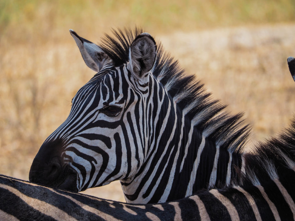 Tarangire-Nationalpark-zebra