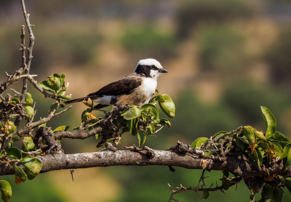 Tarangire-Nationalpark-Vogel