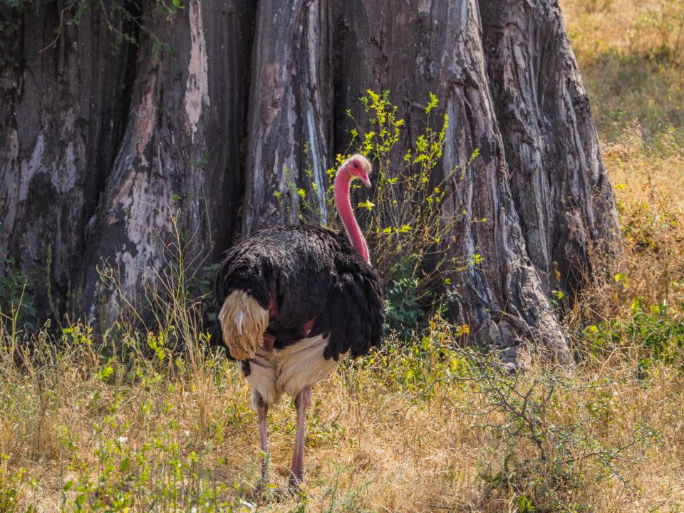 Tarangire-Nationalpark-Strauß