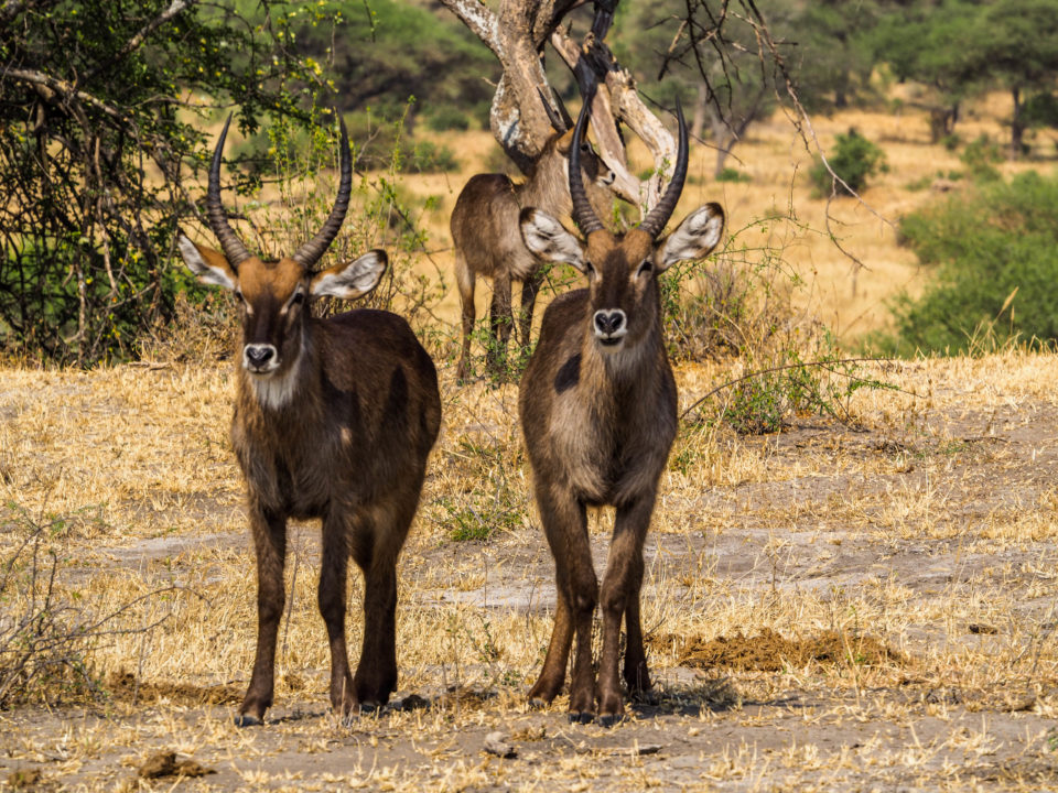 Tarangire-Nationalpark-Tiere