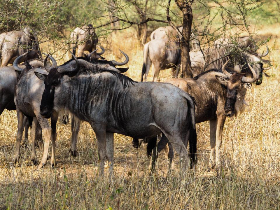 Tarangire-Nationalpark-Tansania-Gnus