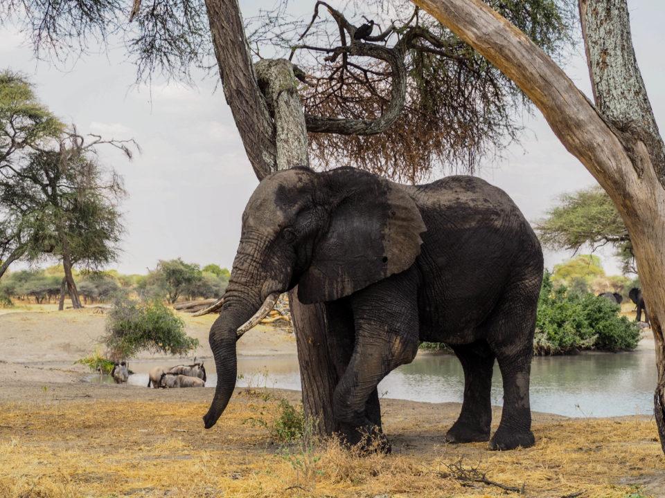 Tarangire-Nationalpark-Tansania-elefant