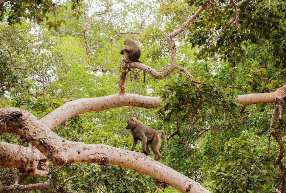 Tarangire-Nationalpark-Tansania-affen