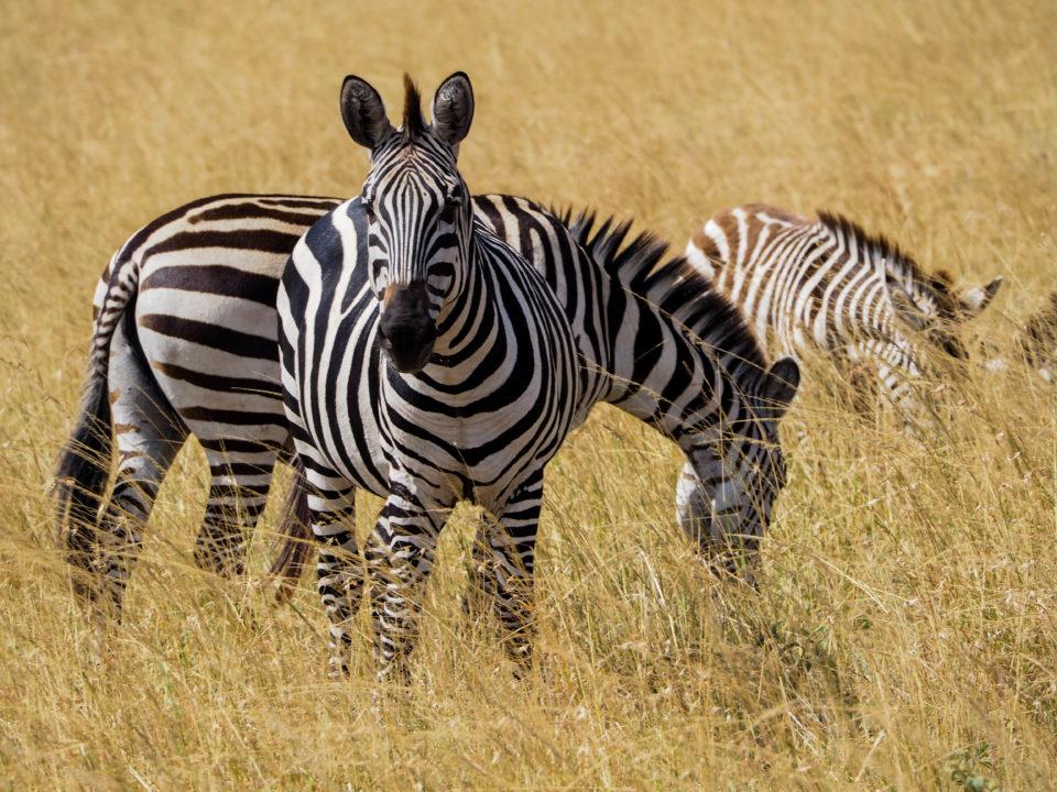 Tansania-Serengeti-Safari-zebra