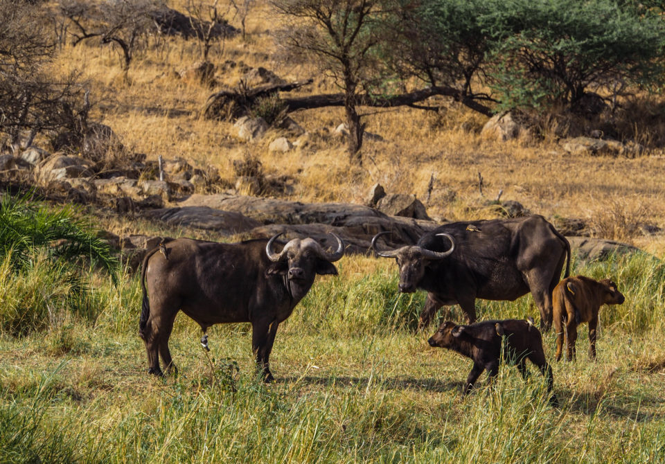 Tansania-Serengeti-Safari-büffel