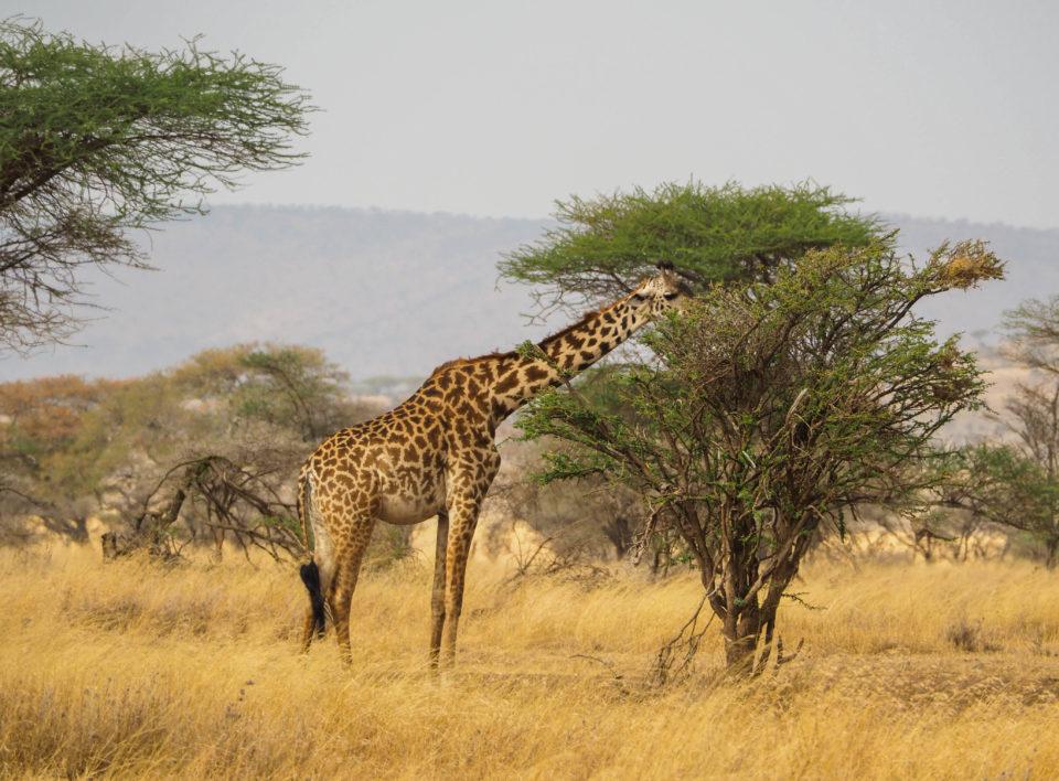 Tansania-Serengeti-Safari-Giraffe