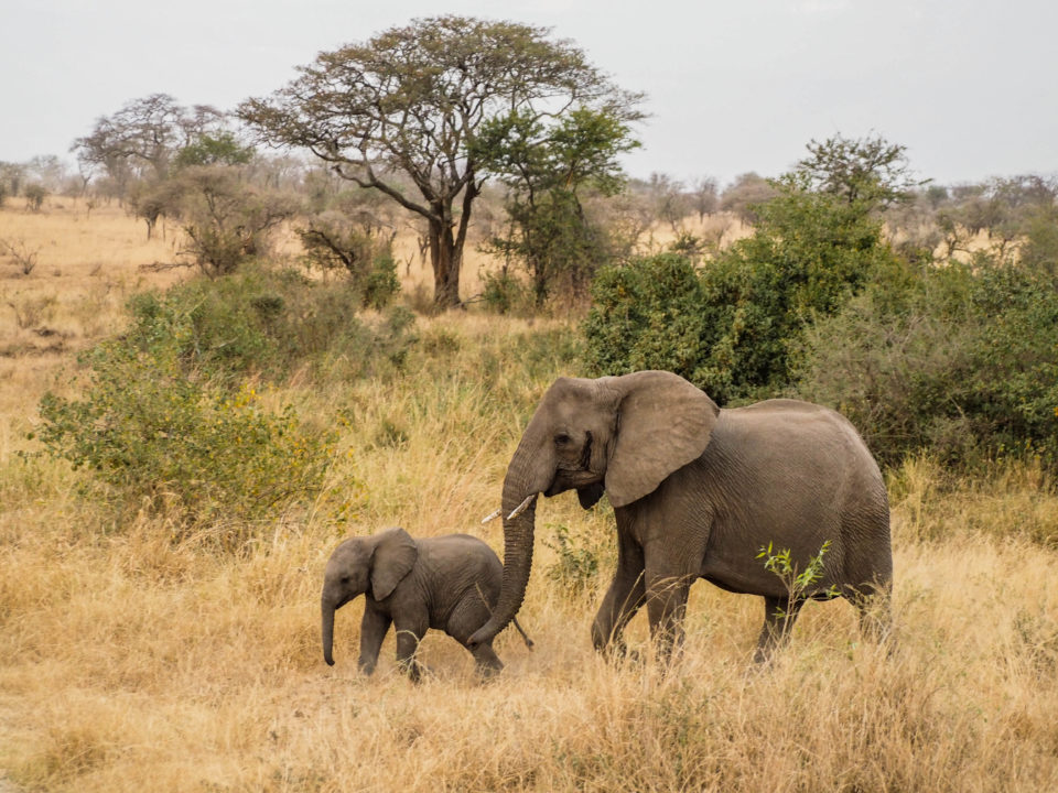 Tansania-Serengeti-Safari-elefanten
