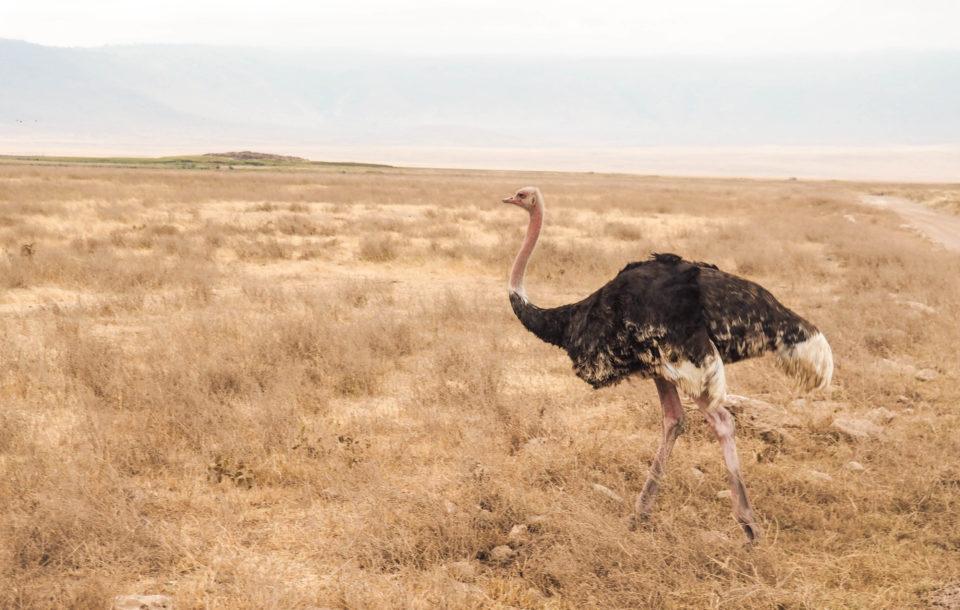 Tansania-Ngorongoro-Krater-Strauß