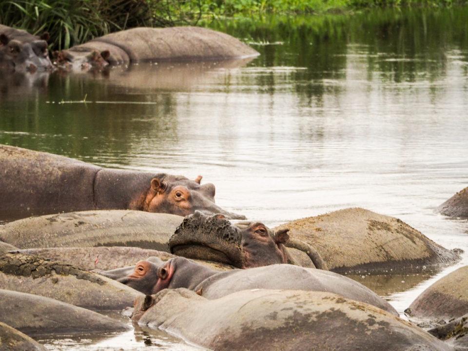 Tansania-Ngorongoro-Krater-Hippos
