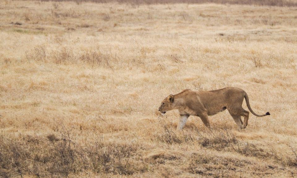 Tansania-Ngorongoro-Krater-Löwe