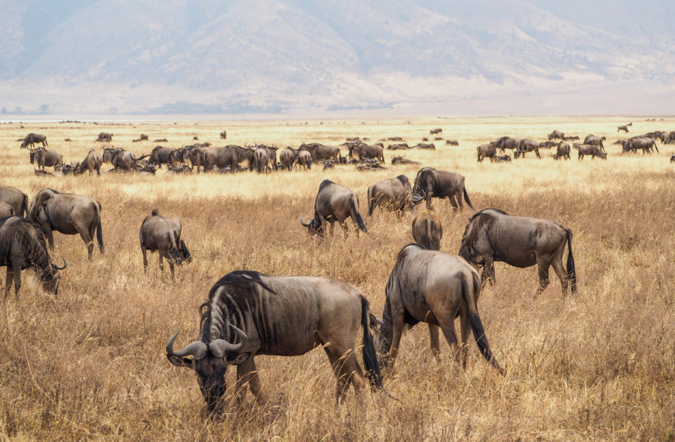 Tansania-Ngorongoro-Krater-Gnus
