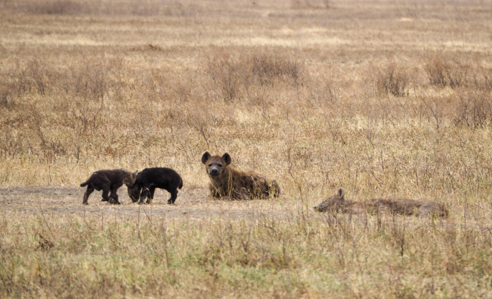 Tansania-Ngorongoro-Krater-Hyäne
