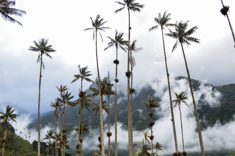 Cocora-Valley-Palmen