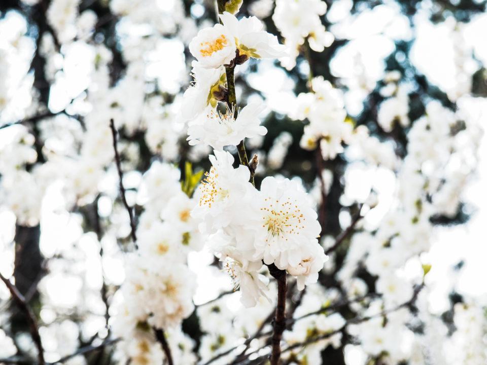 Japan, Kirschblüte