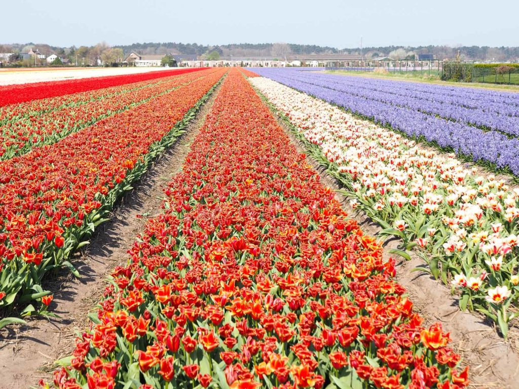 Tulpenblüte Holland-Bollenstreek
