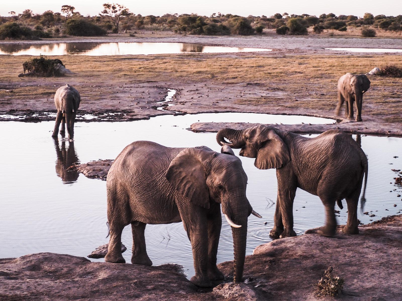 Botswana-Elefanten