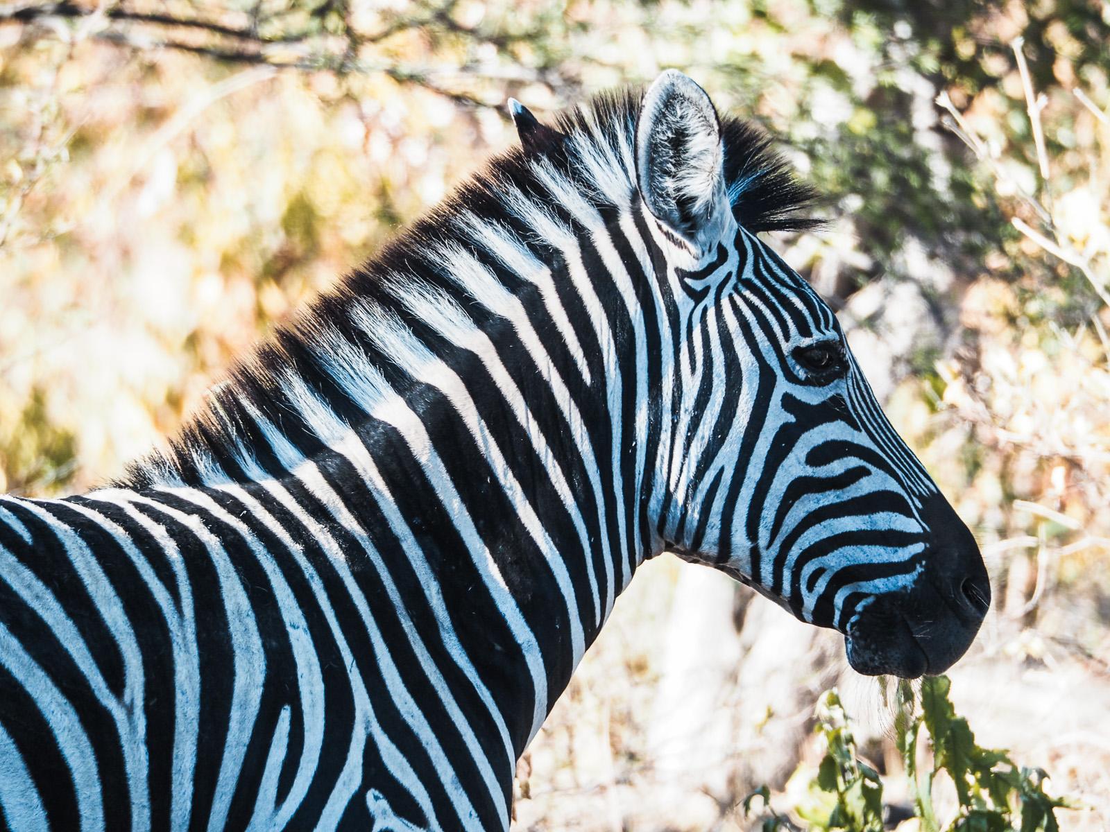 Botswana-Zebras