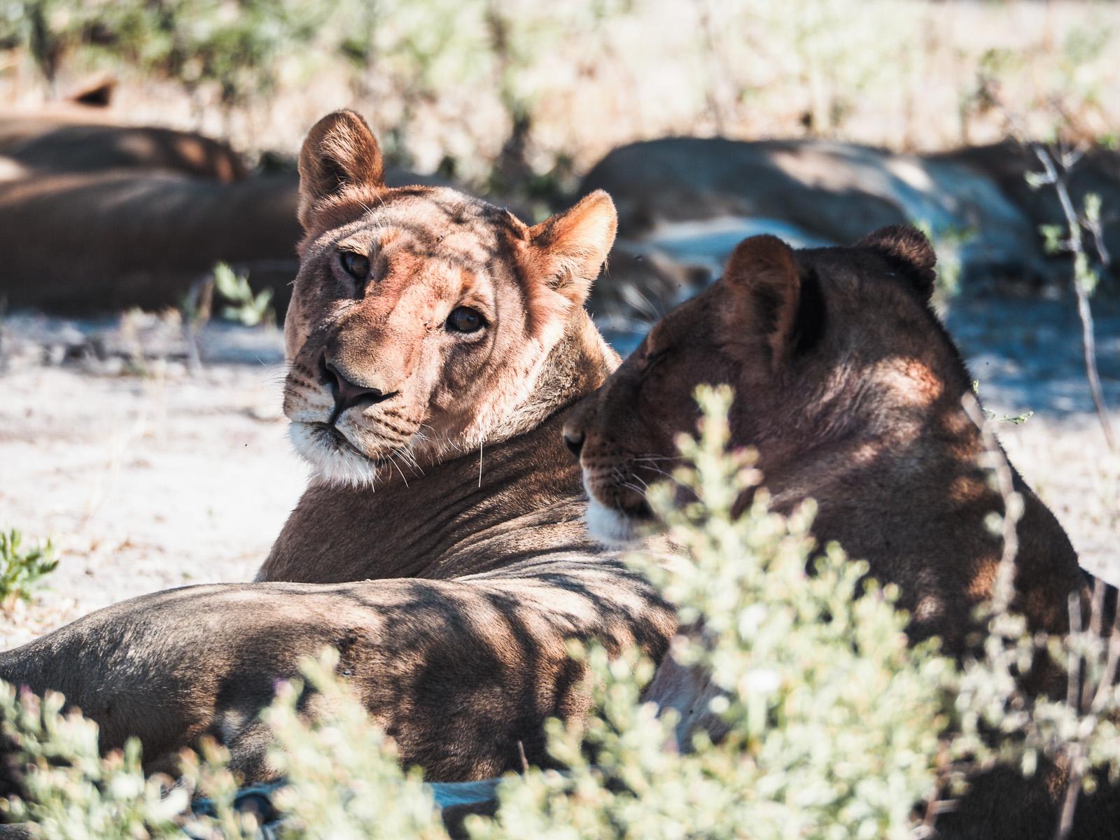 Botswana-Wildlife-Löwen