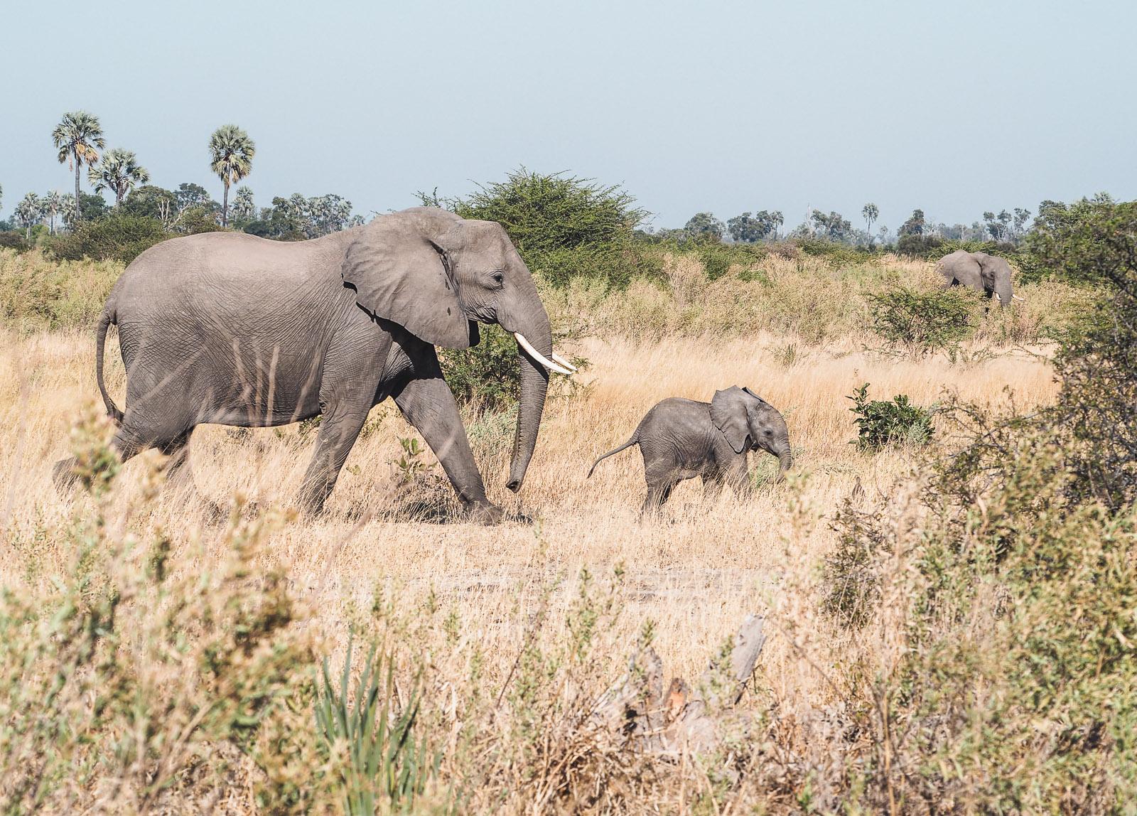 Botswana-Wildlife-Elefanten