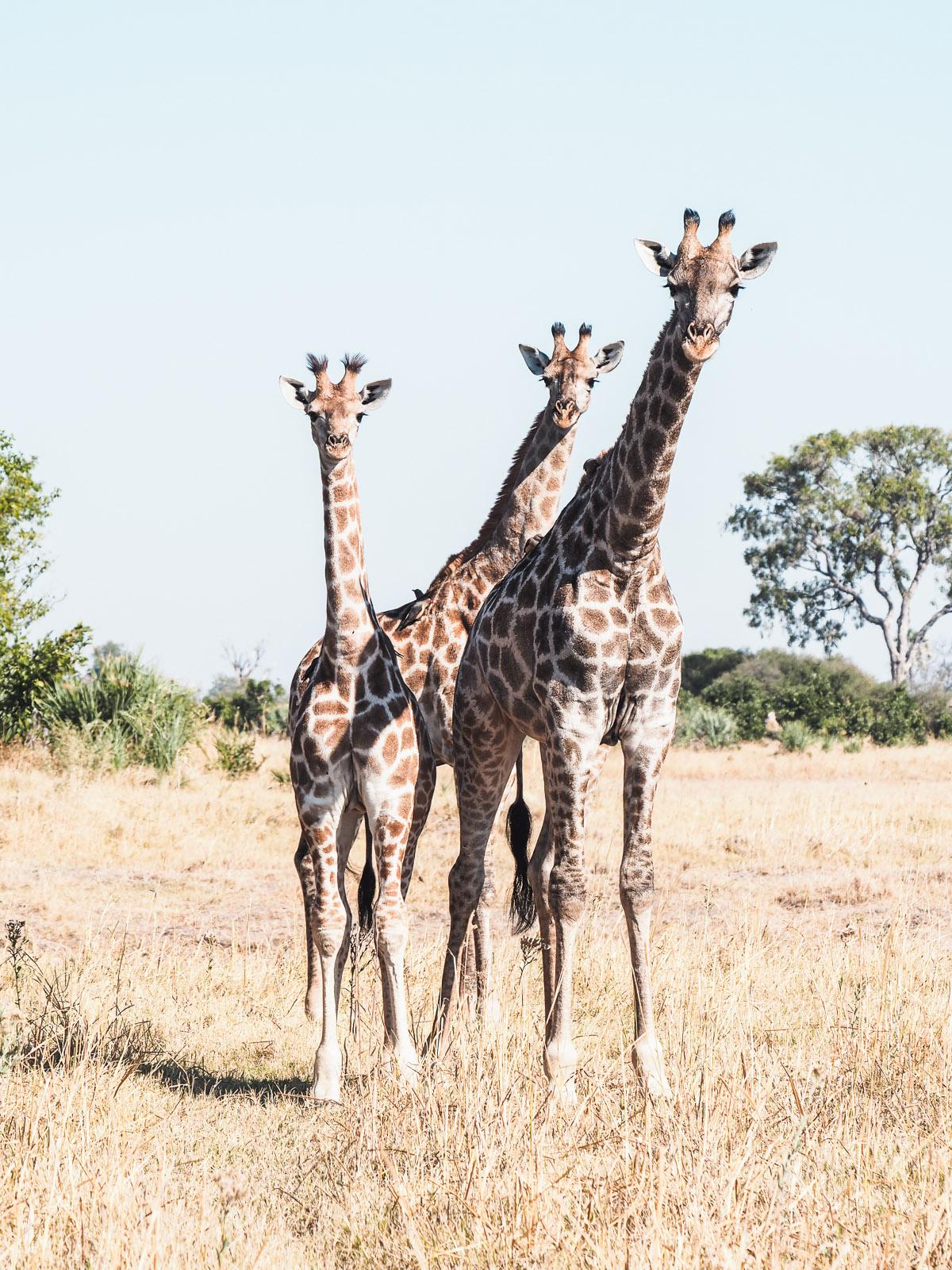 Botswana-Wildlife-Giraffen