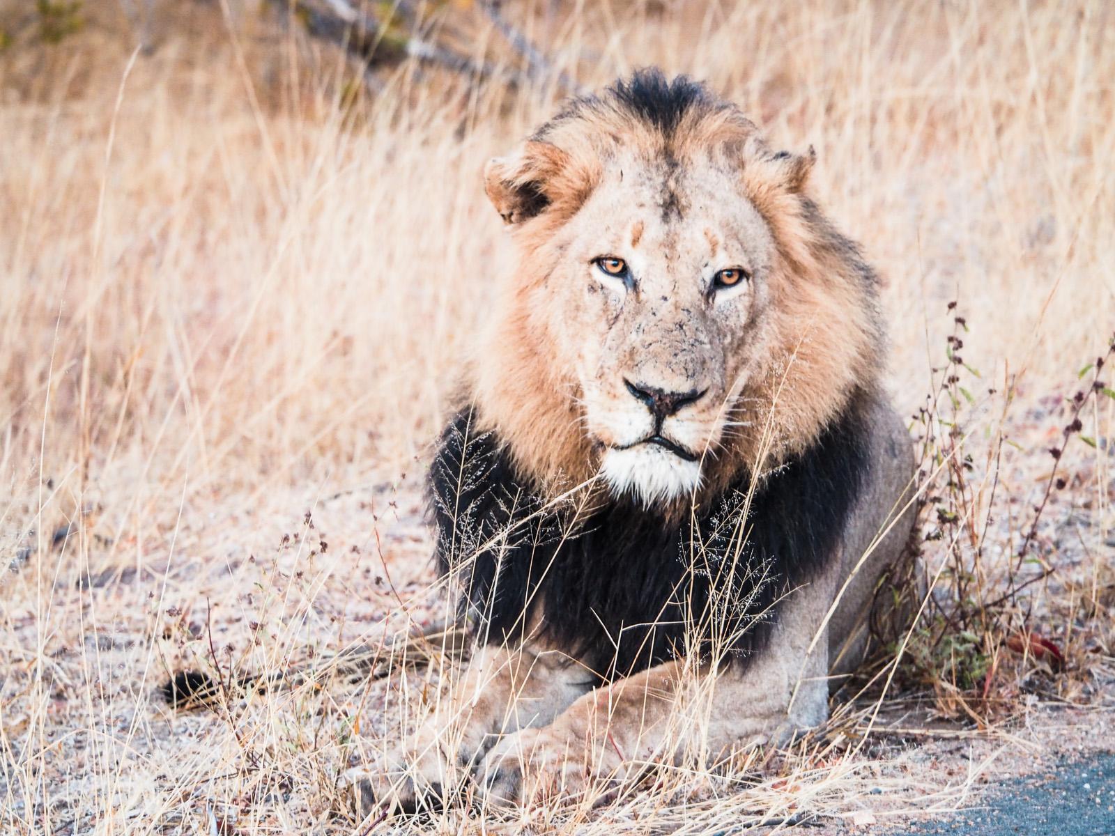 Botswana-Wildlife-Löwe