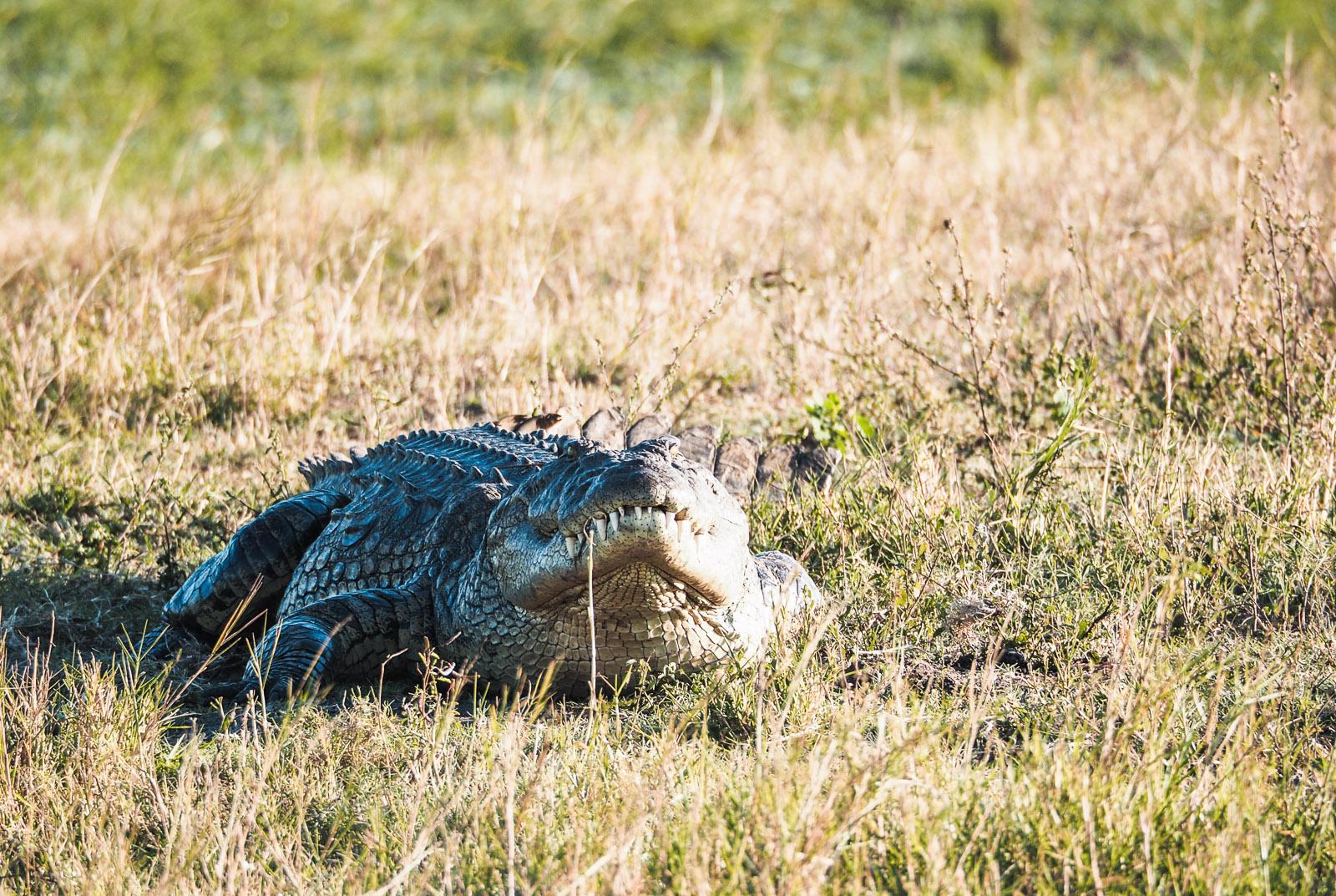 Botswana Rundreise-Krokodil