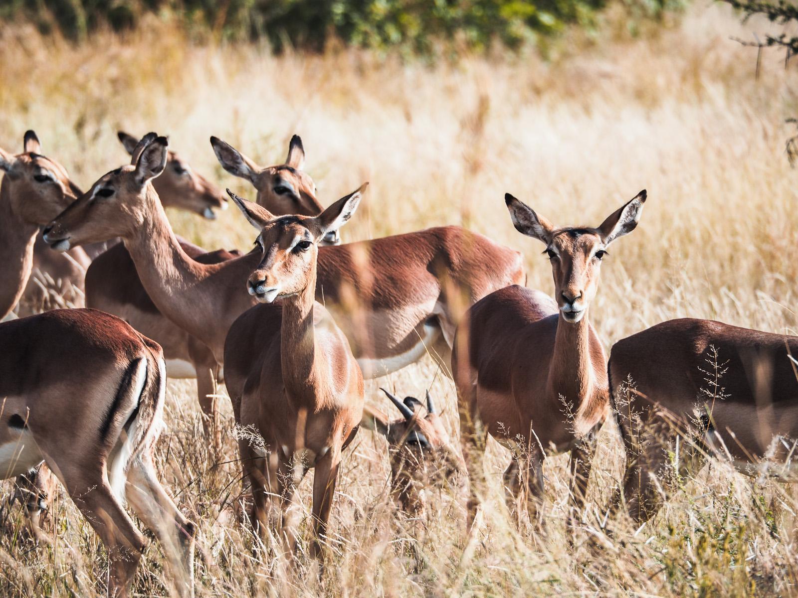Afrika, Botswana, Impala