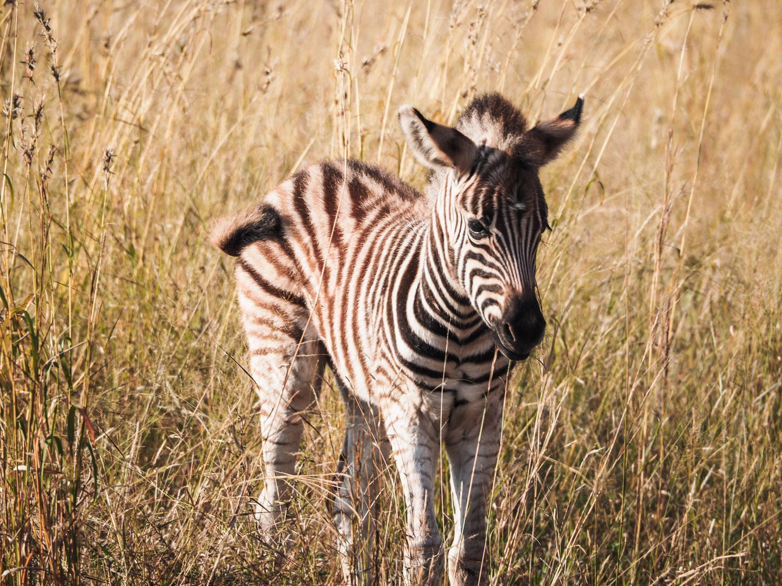 Afrika, Botswana, Zebra