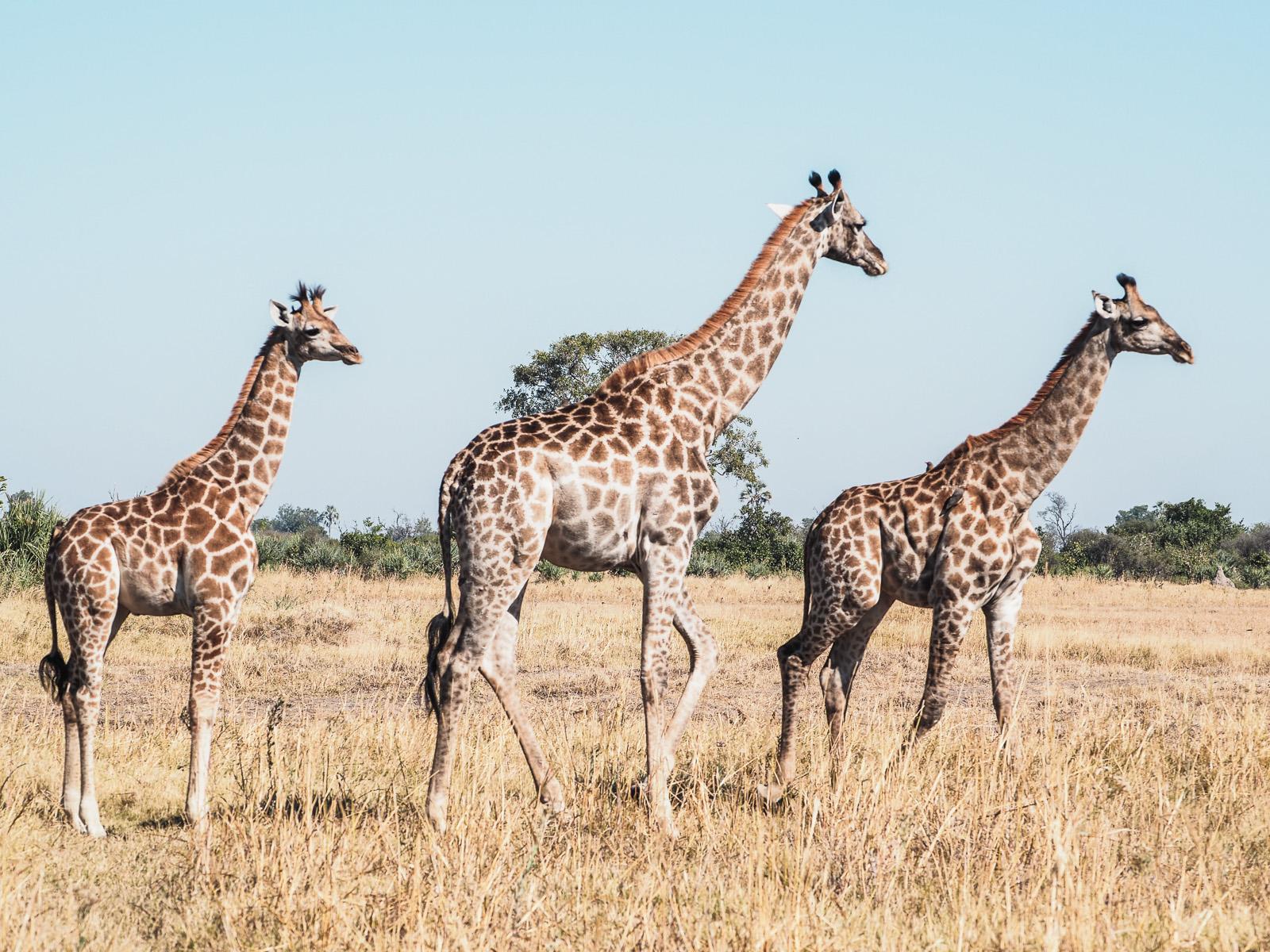 Afrika, Botswana, Moremi Reservat