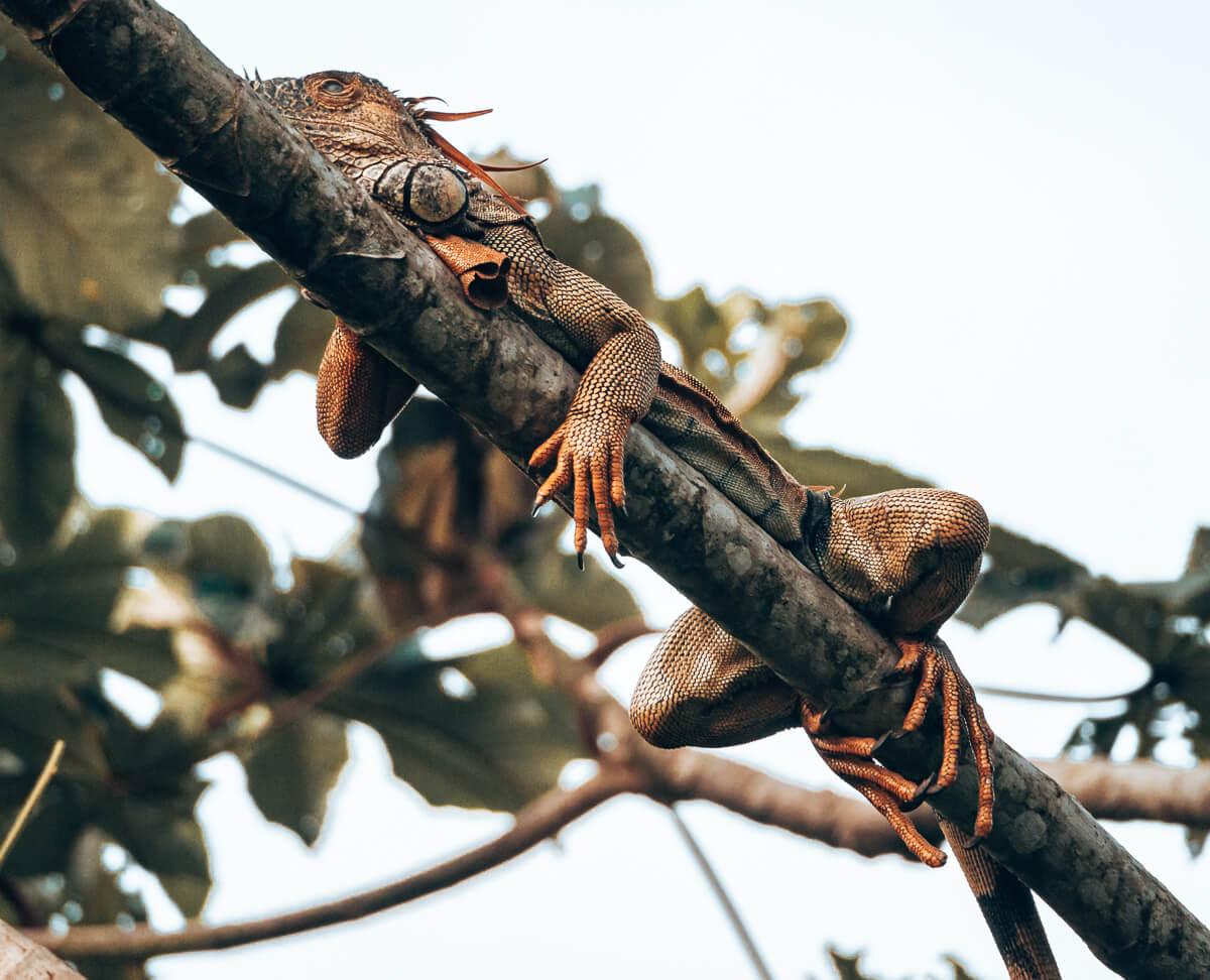 Echse im Tortuguero Nationalpark