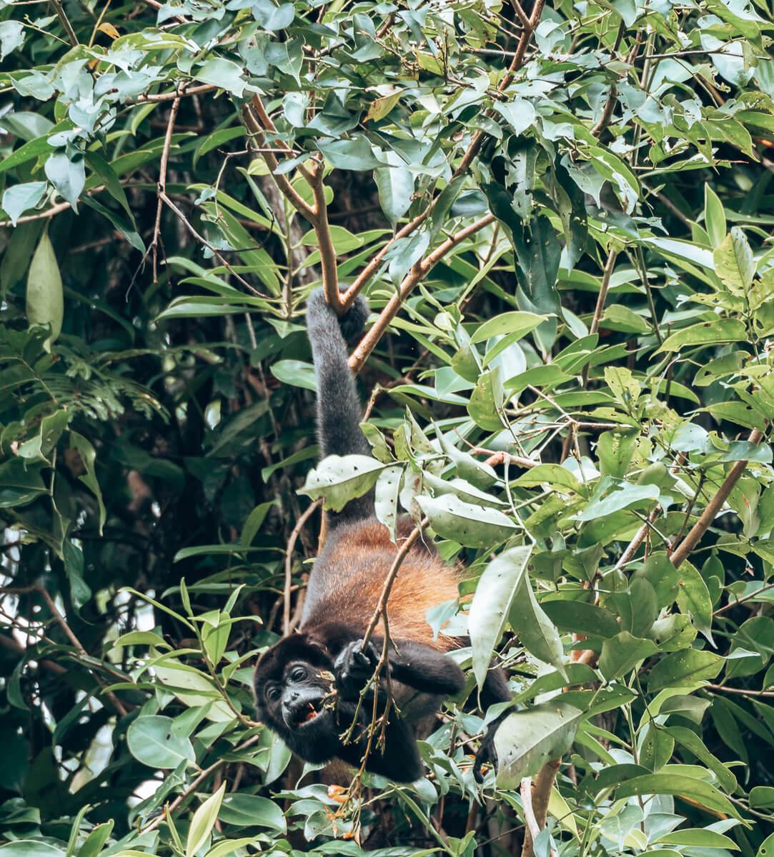Affe im Tortuguero Nationalpark
