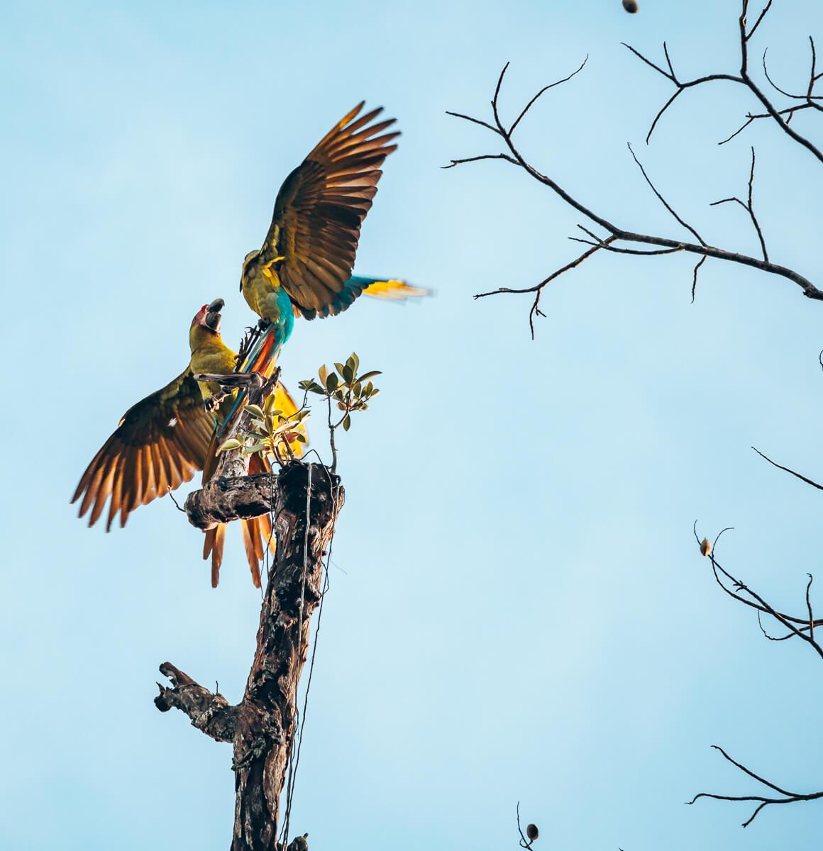Aras im Tortuguero Nationalpark