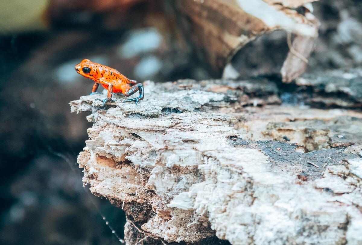 Giftiger Frosch im Tortuguero Nationalpark
