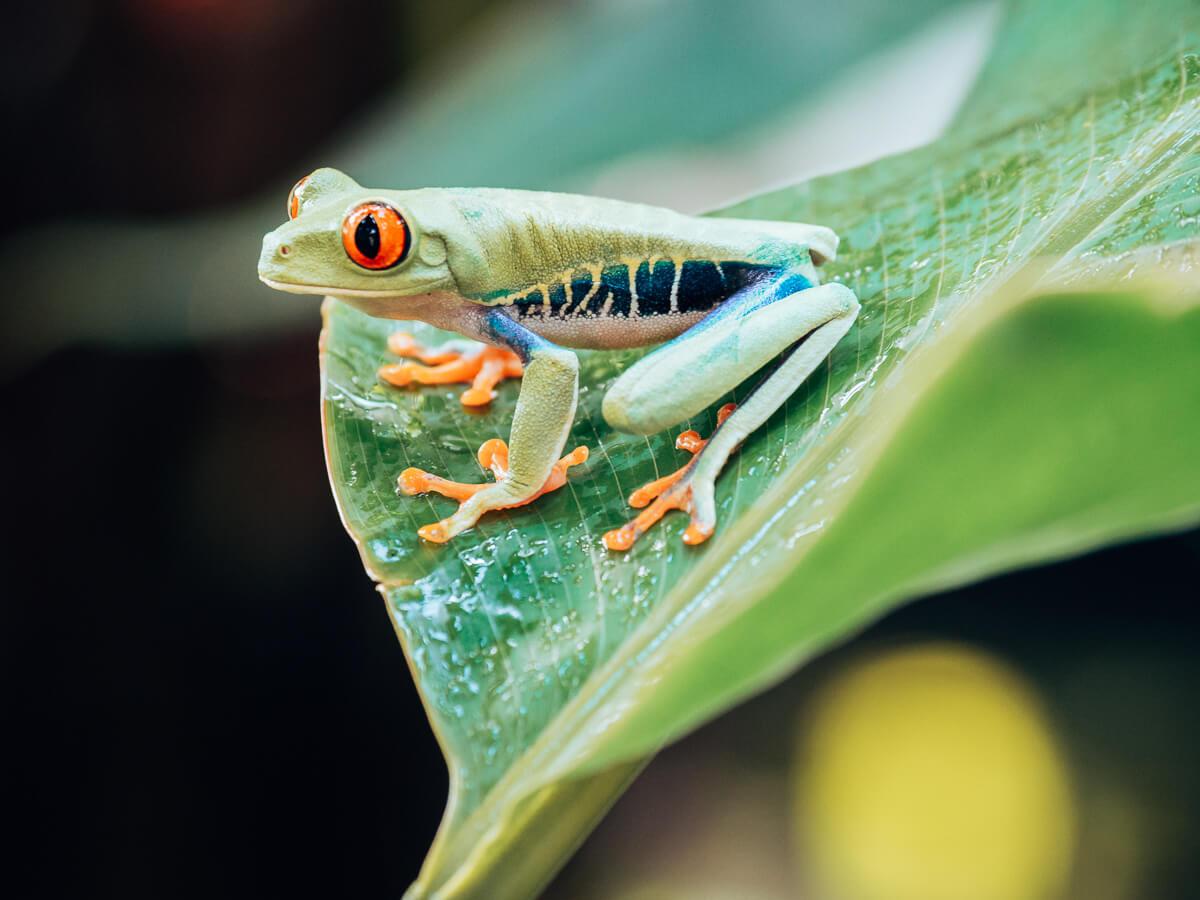 Frosch im Tortuguero Nationalpark