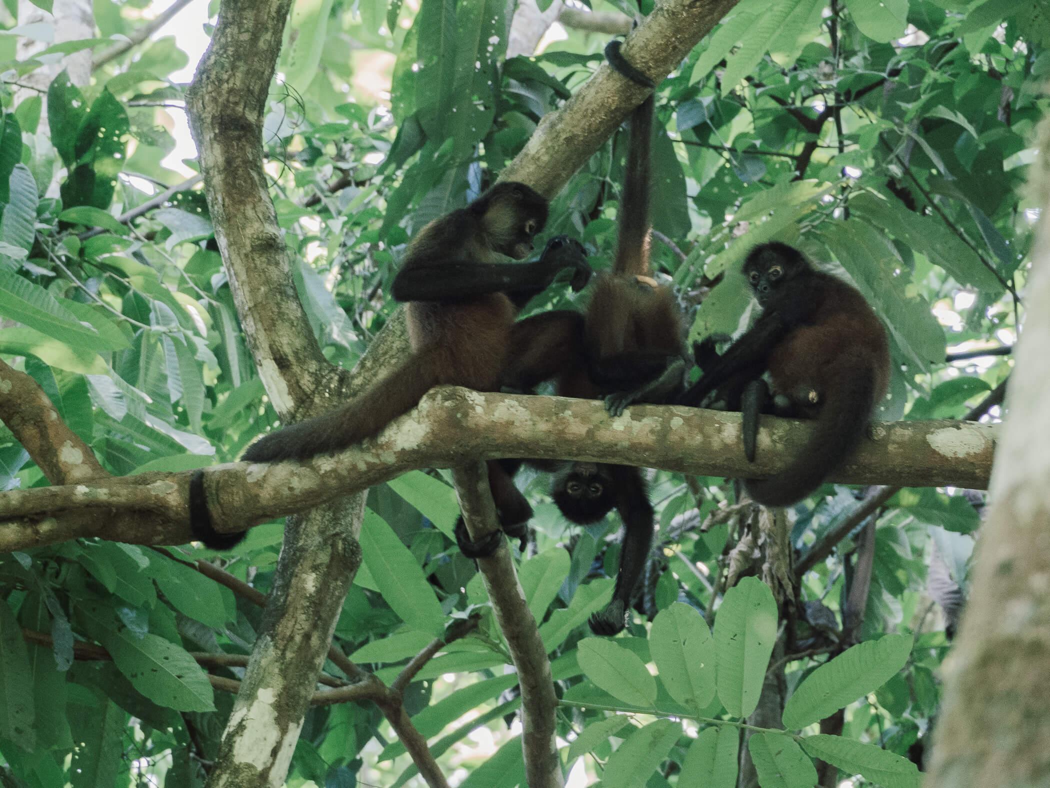 Affen im Corcovado Nationalpark